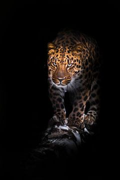 Va sur un léopard de bois isolé sur un fond noir. Un beau gros chat sauvage dans l'obscurité de la n sur Michael Semenov