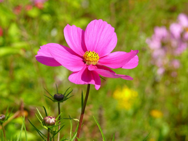 Flower Mexican Aster in pink (magenta) van Barbara Hilmer-Schroeer