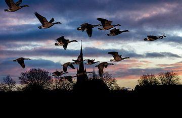 Een vlucht Canadese ganzen