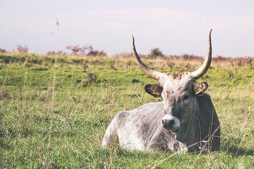 Maremmana, Italiaanse koe