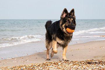 Duitse herder speelt op strand van Annelies Cranendonk