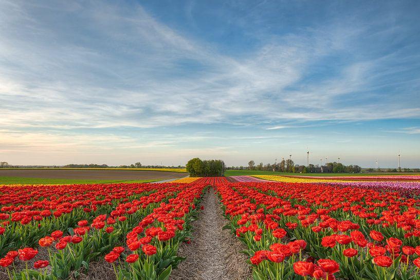 Tulpenveld in het Rijndistrict Neuss van Michael Valjak