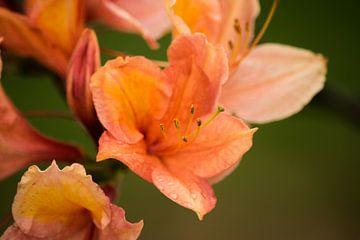 Oranje bloem Rhododendron molle van Kristof Leffelaer