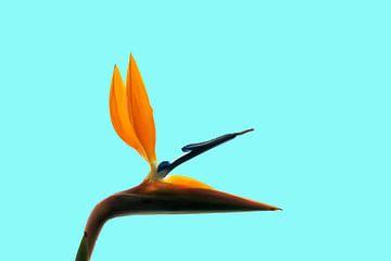 Paradiesvogelblume (Strelitzia reginae) von Dustin Musch