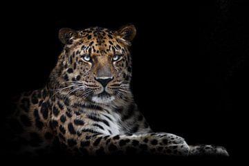 mächtige Tier Leopard majestätisch sitzt aufrecht und stolz, isoliert schwarzen Hintergrund von Michael Semenov