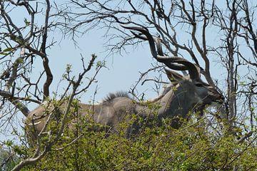 Kudu Kruger Park van Daisy Janssens
