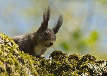 Braunes Eichhörnchen von Anja B. Schäfer