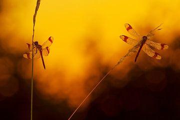 Bandheidelibellen tijdens zonsopkomst van Jeroen Stel