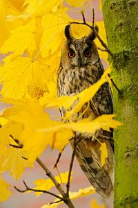 Waldohreule (Asio otus) im Ahorn, im Herbst, goldener Oktober, wildlife, Europa.