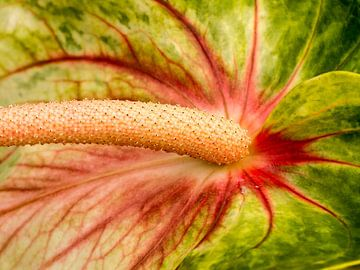Een close-up van een Flamingo bloem