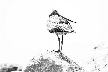 Verträumte Rotschwanz-Schnepfe von Dieverdoatsie Fotografie