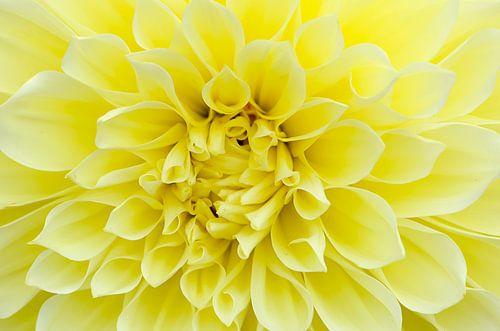 Gele Dahlia van