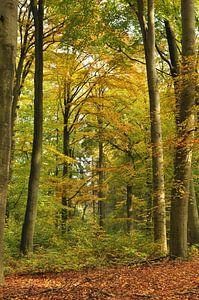 Beukenbos met herfstkleuren van Corinne Welp