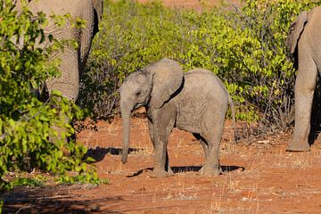 Olifantenjong in het Etosha National Park van GoWildGoNaturepictures