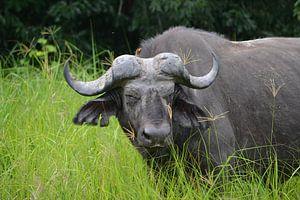 Kafferbuffel