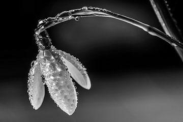 Schneeglöckchen von Esther van Dijk