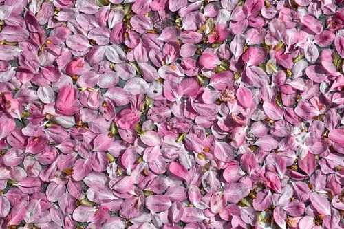 Drijvende roze bloesemblaadjes van