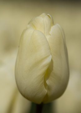 Weiße Tulpe von Marianne Henstra