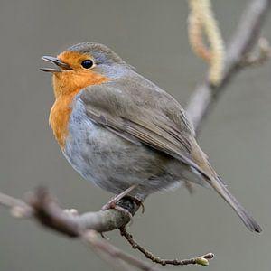 Robin ( Erithacus rubecula ) zingt zijn vrolijke lied, wildlife, Europa.