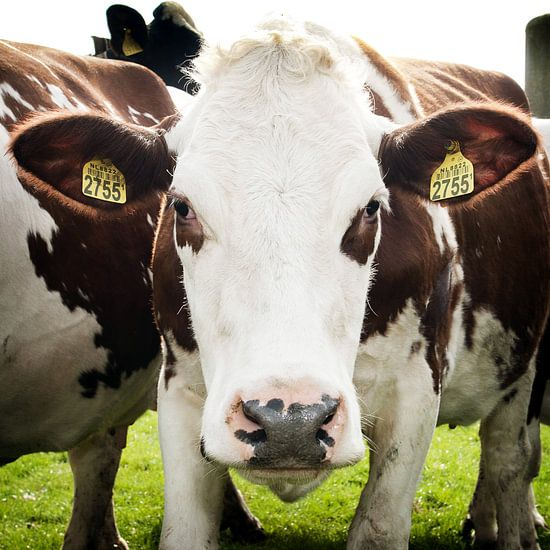 Koe kijkt in camera van Fotografie Arthur van Leeuwen