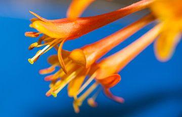 Oranje bloemen op blauwe achtergrond van Maerten Prins