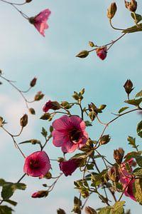 Hommel in Hibiscus