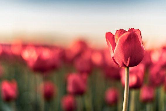 Bloeiende rode tulpen in een veld tijdens zonsondergang