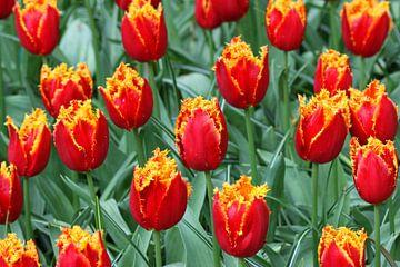 Tulpen in de Keukenhof sur Antwan Janssen