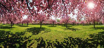 Le parc des cerisiers en fleurs
