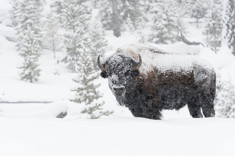American Bison van wunderbare Erde