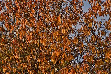 Orangefarbene Herbstblätter am Baum. von J..M de Jong-Jansen