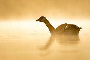 Canadese gans in tegenlicht van Sam Mannaerts Natuurfotografie