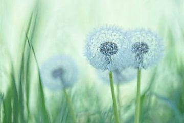 Samenscheibchen zwischen dem Gras von Birgitte Bergman