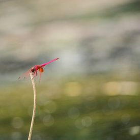 Libelle in Khao Sok national park. van Martijn Bravenboer