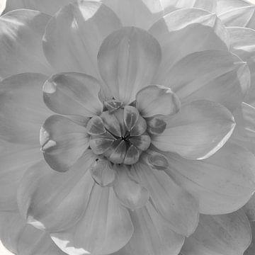 Hart van de Dahlia, zwart-wit van Rietje Bulthuis