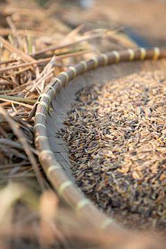 Ochtendlicht droogt geoogste rijst