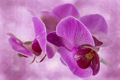 orchidee, donker roze