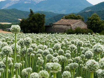 Zaadbloemen van uienbollen von M  van den Hoven