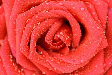Rode roos vroeg in de morgen. van Sander Maas