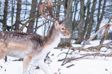 Damhert met gewei in de sneeuw van Anne Zwagers