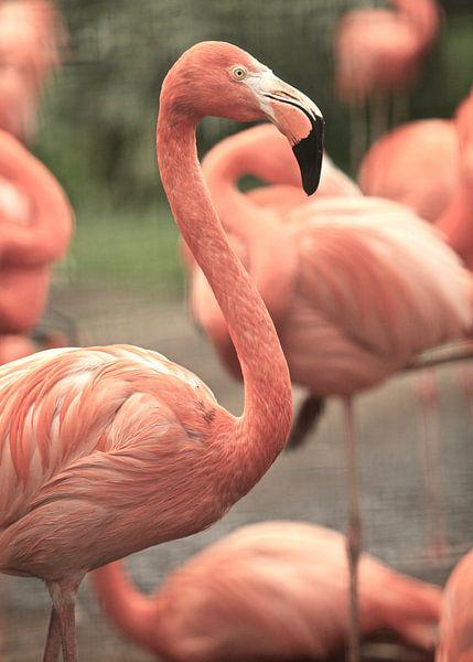 Flamingo's van Jasper van de Gein Photography
