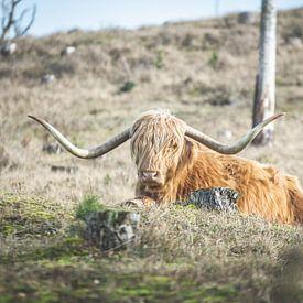 Schotse Hooglander in de duinen van Marjolijn Barten