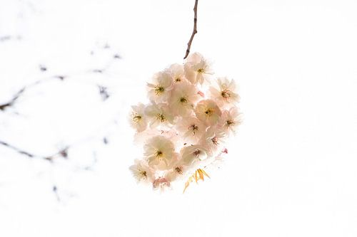 Eenvoudig beeld van bloesem aan tak