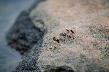 libellule au bord du Nil en Ouganda sur Eric van Nieuwland