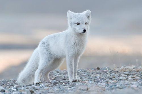 Arctic Fox von Tariq La Brijn