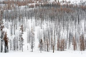 Dead forest in snow... Grand Teton National Park *USA*