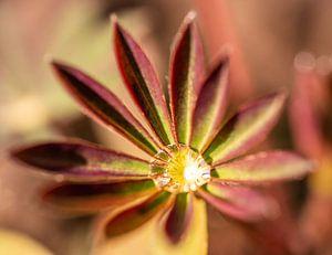 Lupineblad