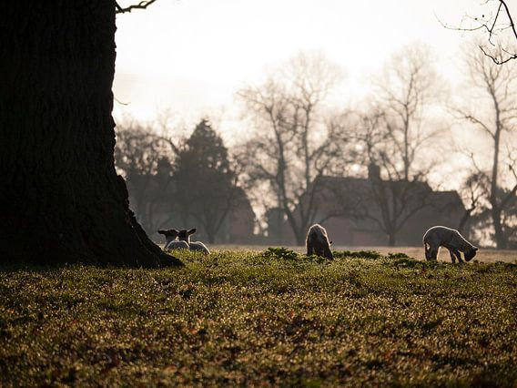 Lammeren bij Studley Castle