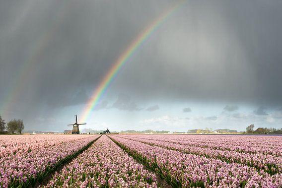Regenboog boven een molen en roze hyacinten