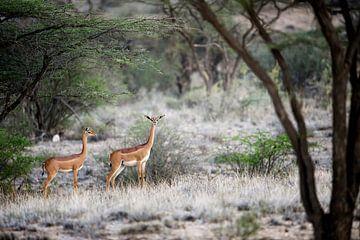 Gerenuk, antilope à long cou, dans le PN de Samburu, au Kenya.